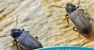 extermination Curculionidae wood