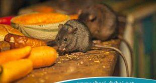 Immediate-elimination-of-mice